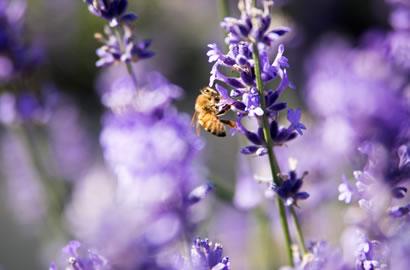 PEC Lavender Farm